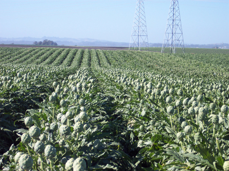 Cynthesis Seeded Artichoke Hybrids